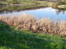 Dry reeds and green trees by the lake Stock Images