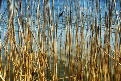 Dry reeds on the lake. As the background image Royalty Free Stock Image