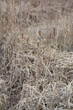 Dry reeds Royalty Free Stock Photos