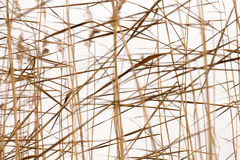 Dry reeds pattern Stock Photo