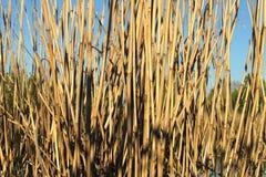 Dry reeds Stock Photos