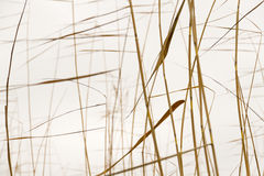 Dry reeds silhouettes Stock Images