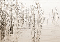 Dry reeds silhouettes Stock Image