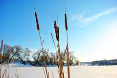 Dry reeds on the sky background, shore with willow trees line along, sunny day. Dry reeds on the sky background, shore with willow trees line along, sunny winter royalty free stock photo