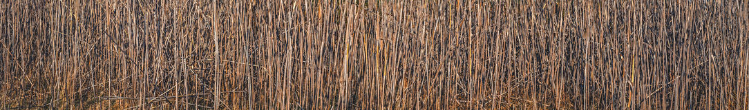 Dry reeds texture Royalty Free Stock Photography
