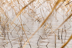 Dry reeds water Stock Images