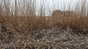 Dry reeds in the wind stock video