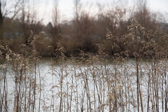 Dry Reeds in Winter Time Royalty Free Stock Image