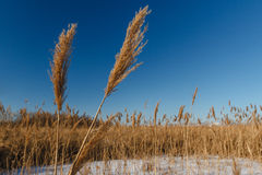 Dry reeds in wintertime Royalty Free Stock Photography