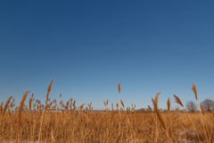 Dry reeds in wintertime Stock Photography