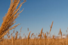 Dry reeds in wintertime Stock Images