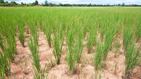 Dry rice field in Cambodia Royalty Free Stock Photography