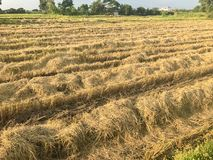 Dry rice filed after the harvest. At thailand Royalty Free Stock Photo