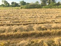 Dry rice filed after the harvest. At thailand Royalty Free Stock Images