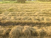 Dry rice filed after the harvest. At thailand Royalty Free Stock Photography