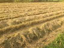 Dry rice filed after the harvest. At thailand Stock Photos