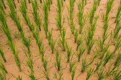 Dry Rice Paddy Royalty Free Stock Photos