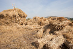 Dry rice straw after farmer harvesting season stock for cattle f Stock Photo
