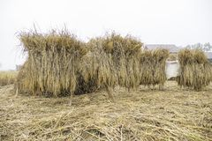 Rice straw shine up before processing for rice grain in the misty field. Dry rice straw shine up before processing for rice grain in the misty field Stock Photography