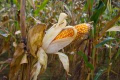 Dry ripe corn Stock Photography