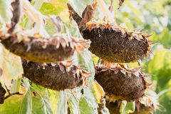 Dry ripe sunflowers Royalty Free Stock Photography