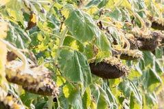 Dry ripe sunflowers Royalty Free Stock Image