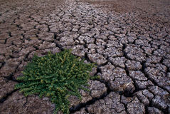 Dry River Bed. A dry and cracked river bed with a single green weed growing in it Stock Photos