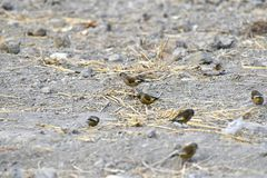 In the dry river foraging songbird. Because of lack of food in winter, a group of songbirds in the dry river in foraging Stock Images