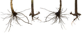 Dry root tree isolated Stock Photos