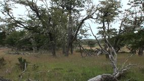 Dry roots and branches of tree intertwine on ground in Patagonia Argentina. stock video