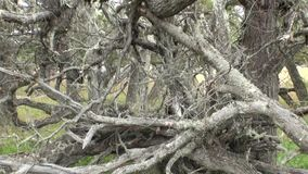 Dry roots and branches of tree intertwine on ground in Patagonia Argentina. stock footage