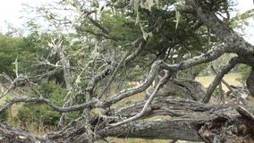 Dry roots and branches of tree intertwine on ground in Patagonia Argentina. stock video footage