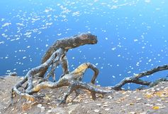 Dry roots of pine tree on the shore of the autumn lake with the leaves floating in the water royalty free stock photography