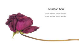Dry rose. Isolated on white background Stock Photography