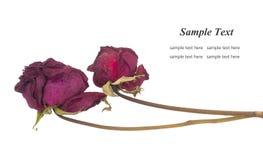 Dry rose. Isolated on white background Royalty Free Stock Photo