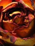 Dry rose Royalty Free Stock Photo