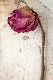 Dry rose against dirty canvas background Stock Images