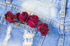 Dry rose in back pocket jean with copyspace background. Stock Image