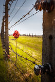 Dry rose on the Barbed Wire Fence. In the concentration camp of Auschwitz Birkenau, Poland Stock Photos
