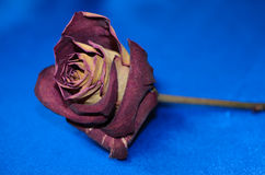 Dry rose on blue background Stock Photos