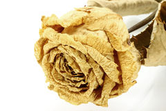 Dry rose close-up Royalty Free Stock Photos