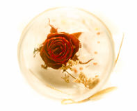 Dry Rose. Dried rose in plastic barrel on white background Royalty Free Stock Images
