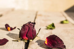 Dry rose on floor. Royalty Free Stock Image
