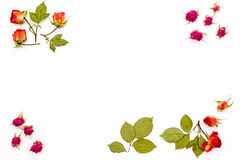 Dry rose flowers and branches with leaves in the corners on a white background. Frame of flower with empty space for text. Flat la Royalty Free Stock Photos