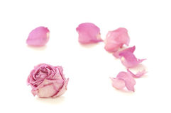 Dry rose isolated on white background Royalty Free Stock Photography