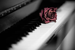Dry rose over grand piano keys Royalty Free Stock Photos