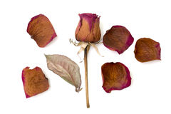 Dry rose and petal isolated white Stock Photo