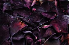 Dry rose petals stacked one pile of background royalty free stock image