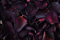 Dry rose petals stacked one pile of background stock photography