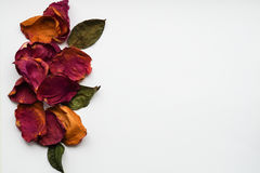 Dry rose petals on a white background. Stock Photos